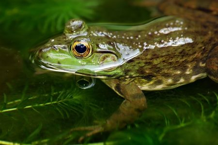 peep toe: close up of a frog swim in a pond