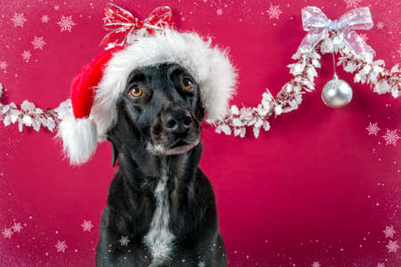 Dog in Christmas decorated background with Santa Claus hat looking at the camera from the front Stock Photo