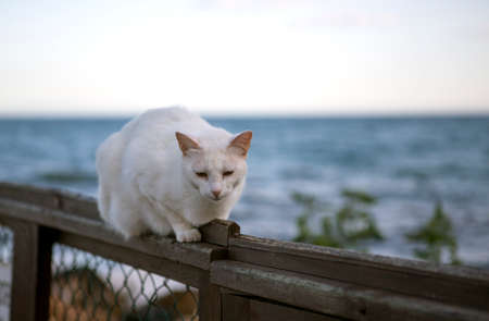 White stray cat lying quietly on a fence near the beach.