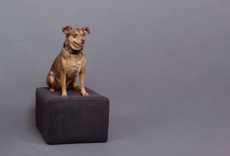 posing for studio photo, small brown dog sitting on podium
