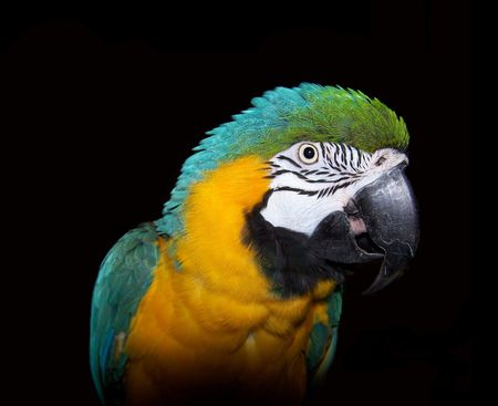 Blue and gold macaw on black Banco de Imagens