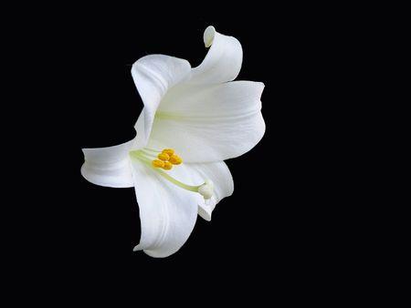 White lily on black Reklamní fotografie
