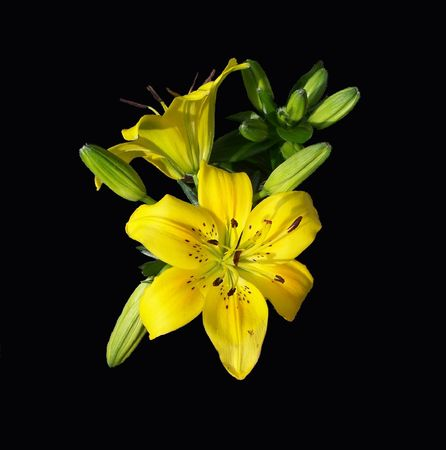 Yellow Lily Imagens