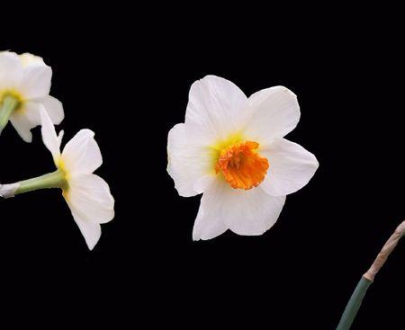 Daffodil on black