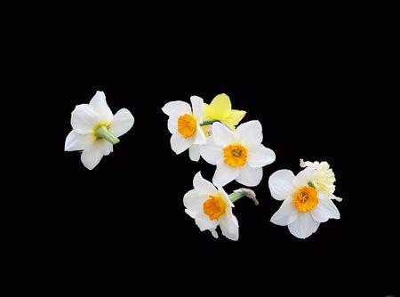Floating daffodils on black Фото со стока