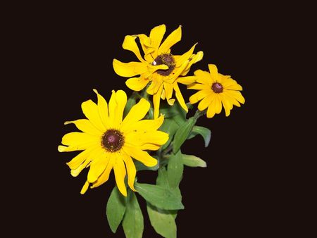 Bouquet of Brown eyed Susan Flowers Stock Photo - 3110694