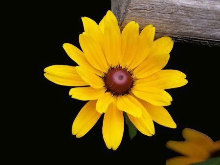brown  eyed: Brown eyed Susan reflection