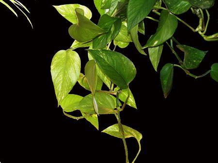 Philodendron on Black Reklamní fotografie
