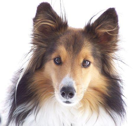 tame: Sheltie Dog en blanco