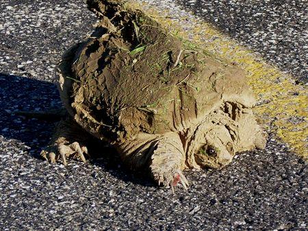 muddy: Muddy Missouri Water Turtle