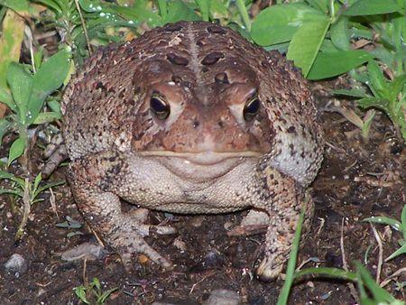 Missouri Toad
