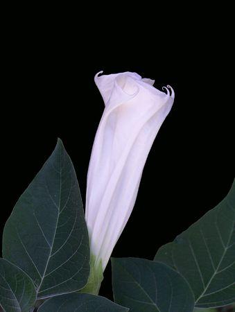 Moon flower ready to open