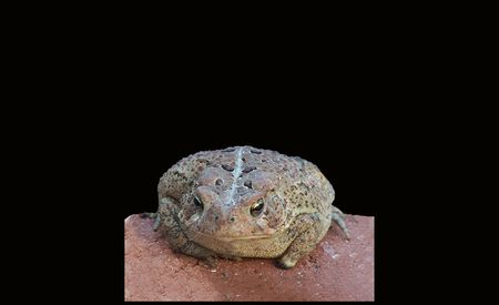 Toad on a Brick In Missouri