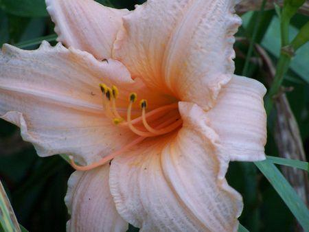 Peach Daylily in Missouri