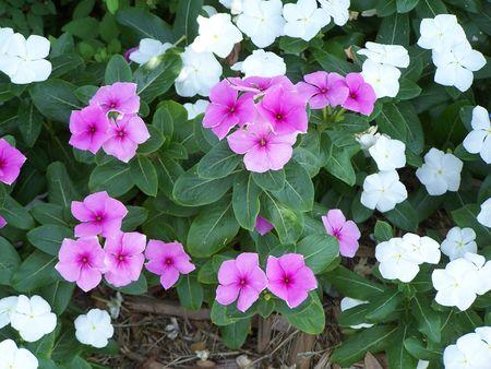 Impatients Flowers Reklamní fotografie