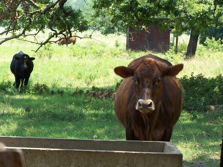Brown and Black Cow in Arkansas Reklamní fotografie