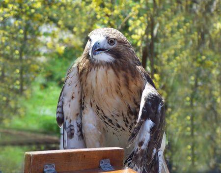 Trained Hawk