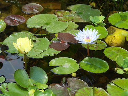 Water flowers Stock Photo - 3440244
