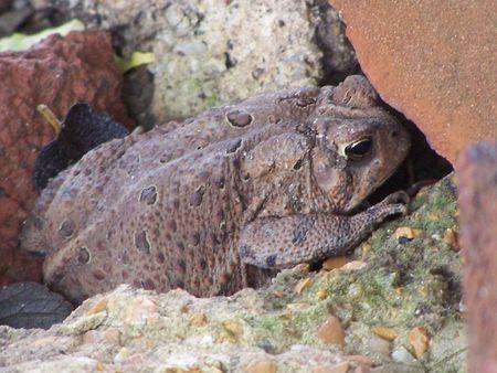 Missouri Toad Hiding in Bricks