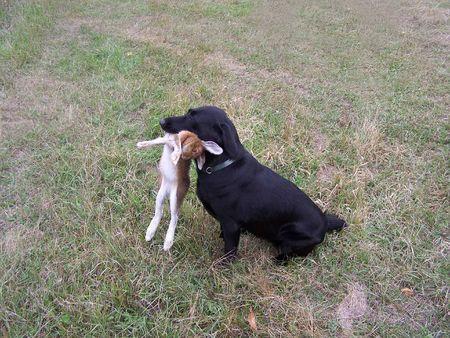 Black Lab Hunting Dog in Wisconsin