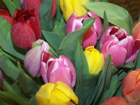 Tulips in Spring Reklamní fotografie
