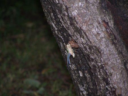 Cicada on a tree Reklamní fotografie