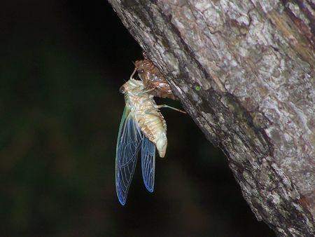 Cicada moulting