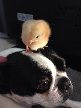 otganimalpets01: Boston terrier with little chicken Stock Photo