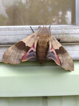 A majestic moth lounging