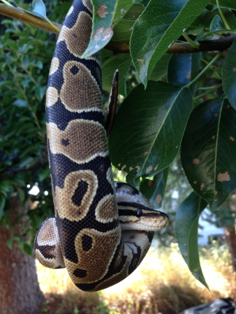 ball python: A ball python hanging from pear tree  Stock Photo
