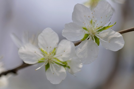 Apricot flowers photo