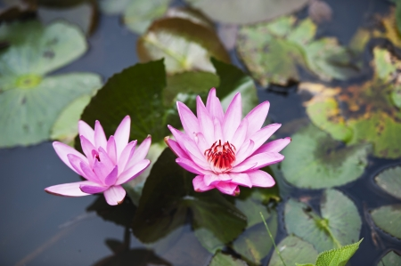 Water Lilies photo