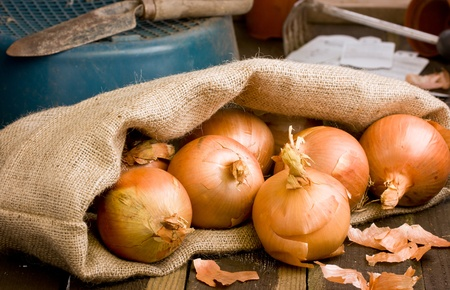 Spanish Onions in a hessian sack on rustic wooden bench with garden tools photo