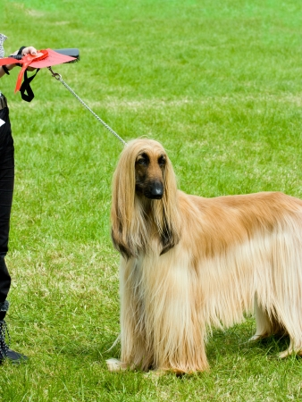 Afghan hound stands proud at dog show ground after wining first prize.  photo