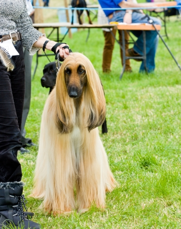 judged: Afghan hound standing  proud  waiting to be judged  at dog show. Stock Photo