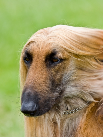 Head shot portrait of Afghan hound   Copy Space   photo