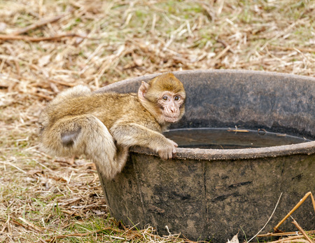 larger: Baby Barbary macaque drinking water from a black tub much larger than him