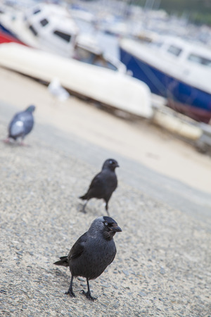 Western Jackdaw birds  Corvus monedula, Coloeus monedula , North Rhine-Westphalia