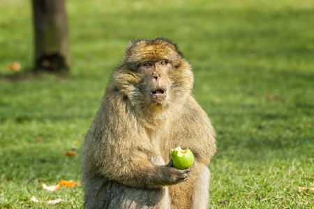 Barbary Macaque eating an apple in open field at monkey world zoo in Trentham zoo Stoke on Trent Staffordshire England. photo