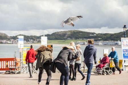 thieving: Llandudno, Wales, UK. 12th September, 2015 Tourists panic as seagull dive-bomb and steals their ice-cream cone.