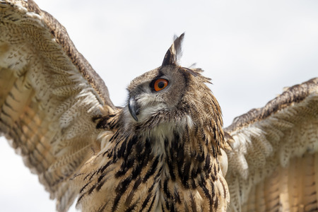 wing span: Eurasian eagle-owl. Close-up shot from below with wings spread. Stock Photo