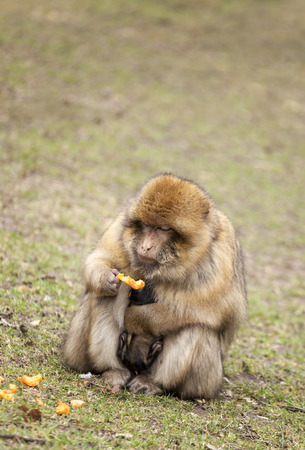 barbary ape: Barbary Macaque keeping her infant close  to her whilst eating some fruit.