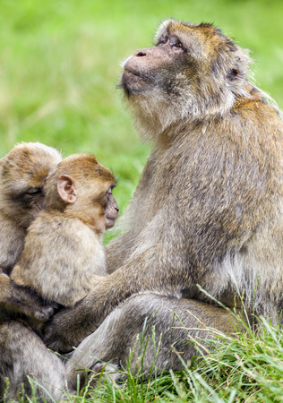sylvanus: Adult Barbary Macaque (Macaca sylvanus) cuddling and boding with two young Juveniles.