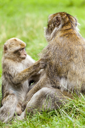sylvanus: A young Barbary Macaque  (Macaca sylvanus) grooming adult male at monkey forest.