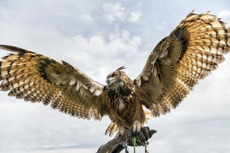wing span: Eurasian eagle-owl displays itâ??s huge wing span. Shot from below on handlers gauntlet.