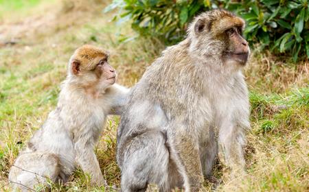 barbary ape: Barbary Macaques (Macaca sylvanus), bonding  by  grooming. Stock Photo