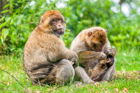 barbary: Barbary Macaque  male and female creating a social bond with their infant. Stock Photo