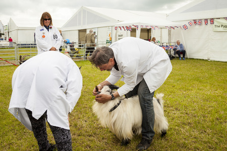 typically british: Cheshire, England, United Kingdom - Jun 22, 2016 : Pygmy Goat being judged in ring at the Royal Cheshire County Show, Cheshire, England.
