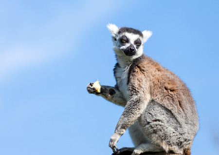 Ring-tailed lemur (Lemur catta) sitting on a rock eating fruit. Blue sky background Stock Photo
