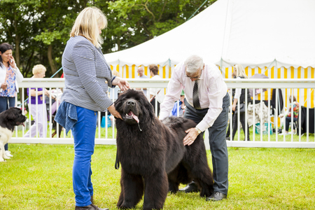 Staffordshire, England - June 01,2017 : Cute Newfoundland dog slobbering as he is  being judged at Staffordshire County Show